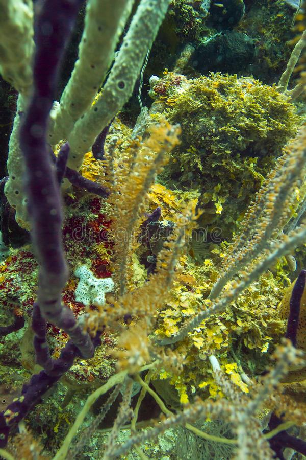 Longsnout seahorse in koraal stock foto