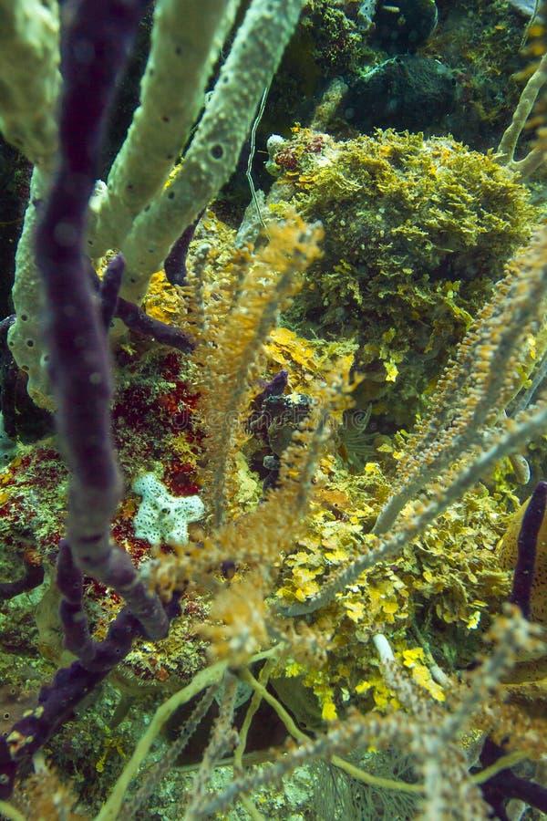 Longsnout seahorse w koralu zdjęcie stock