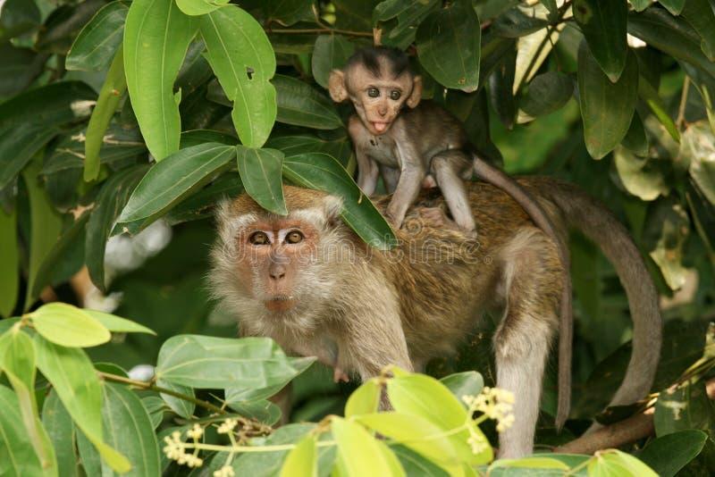 Longtail Macaque mit Jungen stockbilder