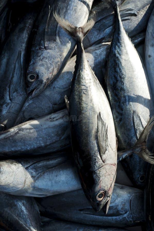 Longtail-Thunfisch stockfotos