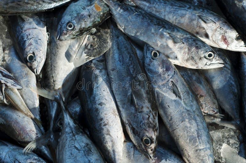 Longtail-Thunfisch stockbilder