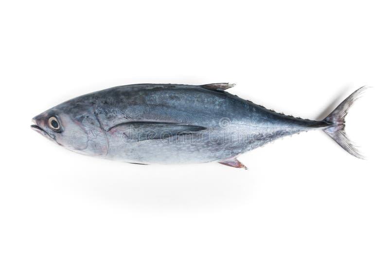 Longtail-Thunfisch lizenzfreie stockfotografie