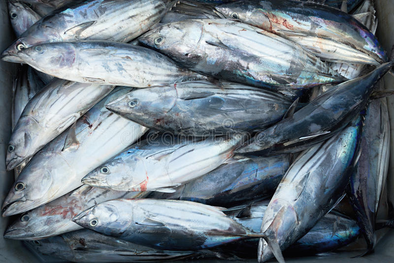 Longtail-Thunfisch, Kasten frische Fische stockfoto