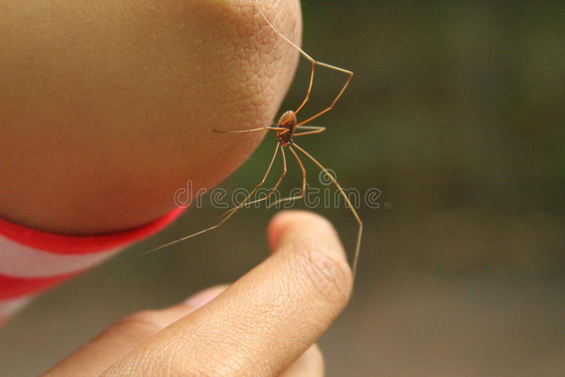 Longue araignée de pattes de papa photographie stock