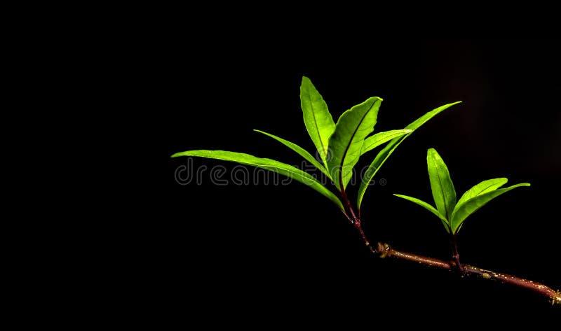 Longue et mince forme de feuille d'usine de forêt tropicale dans le backgro noir photos libres de droits