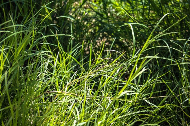 Longue herbe dans une arrière-cour photographie stock libre de droits