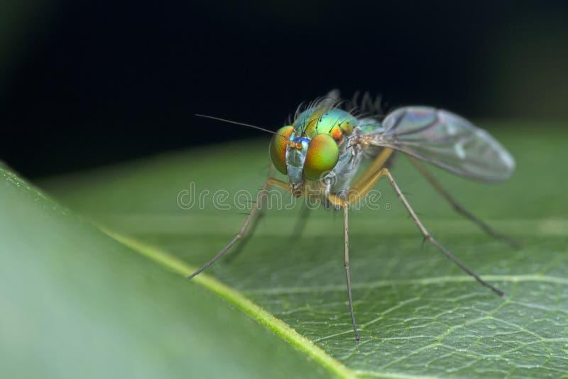 Longue mouche à jambes sur la feuille verte en nature photos stock