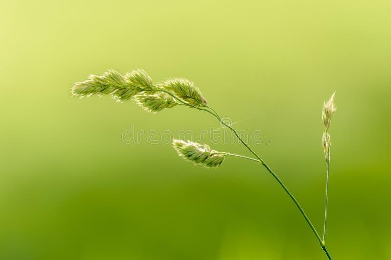 Longue tige de l'herbe sauvage naturelle ?clair?e ? contre-jour par lumi?re du soleil chaude floue de matin dans le domaine photographie stock libre de droits