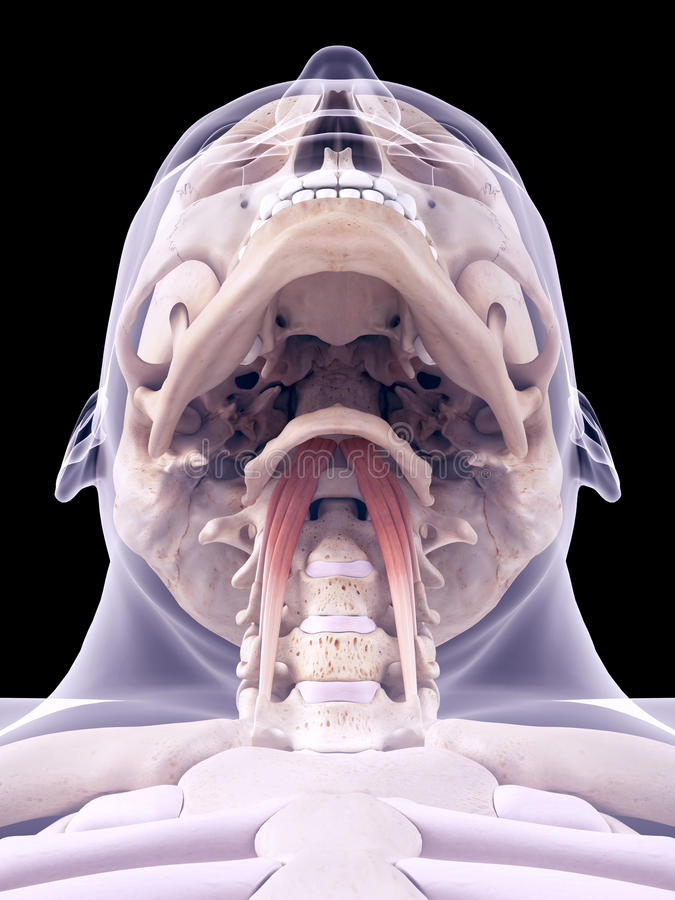 Longuscapitis royalty-vrije illustratie