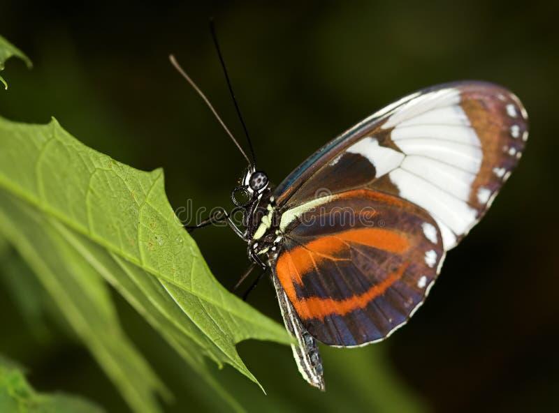 longwing的蝴蝶 库存图片
