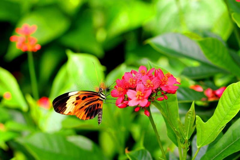 Longwing σίτιση πεταλούδων Numata στοκ εικόνες