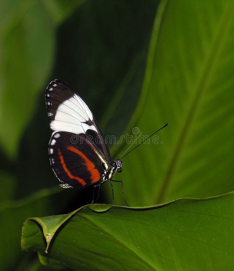 Download Longwing Butterfly (Heliconius Cydno) Stock Photo - Image: 1910694