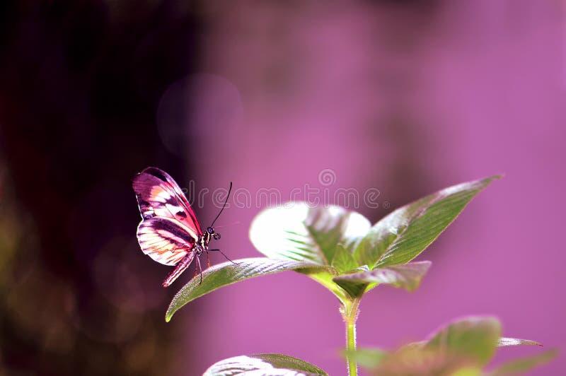 Longwing motyl na zielonym liściu obrazy royalty free