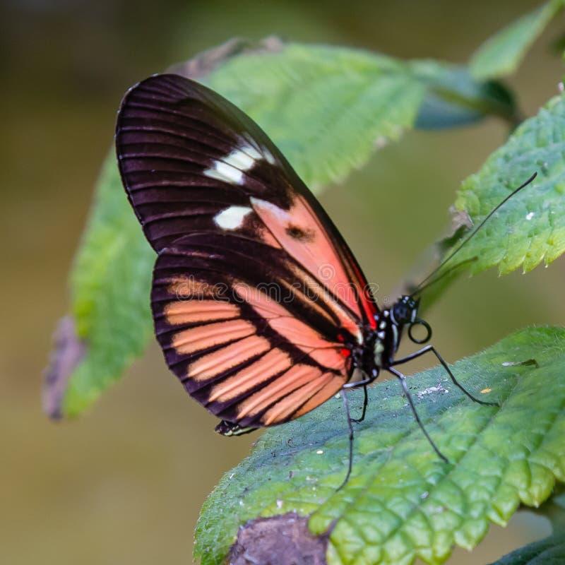 Longwing Schmetterling des weißen, schwarzen, rosa, roten Klavierschlüssels auf einem grünen Blatt lizenzfreies stockbild