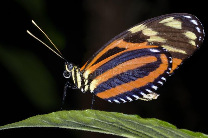 longwing Tigre-listrado, ismenius do heliconius fotografia de stock royalty free