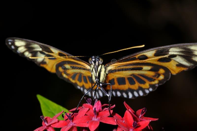 longwing Tigre-listrado, ismenius do heliconius fotografia de stock