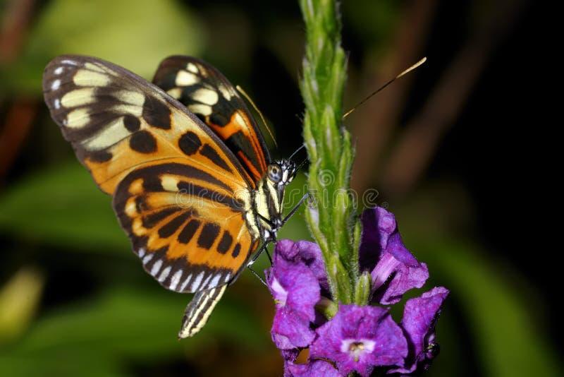 longwing Tigre-listrado, ismenius do heliconius imagem de stock royalty free