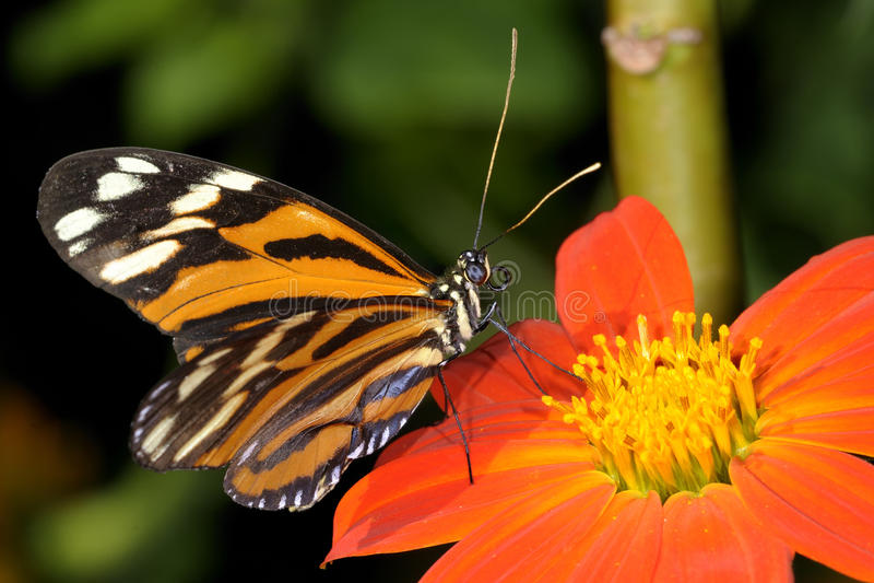 longwing Tigre-listrado, ismenius do heliconius foto de stock