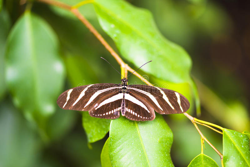 Longwing Zebra Butterfly royalty free stock photography