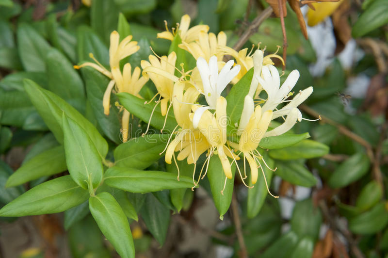 Lonicera japonica Thunb or Japanese honeysuckle yellow and white flower. In garden royalty free stock images