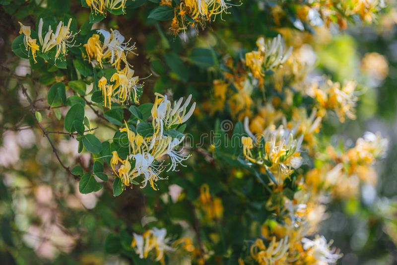 Lonicera japonica Thunb or Japanese honeysuckle yellow and white flower in garden. royalty free stock images