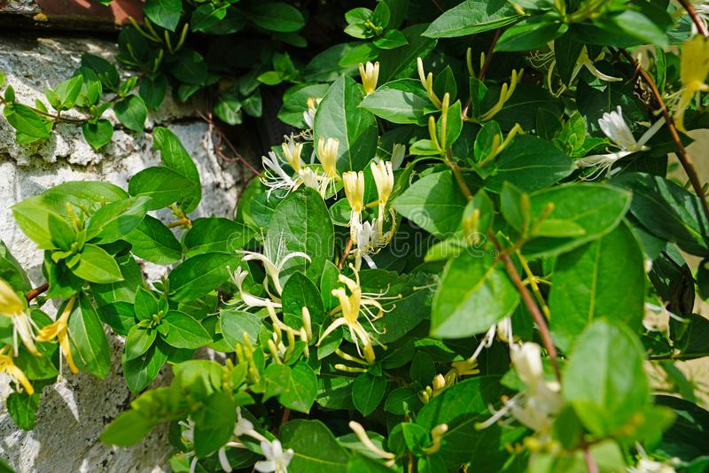 Lonicera japonica Thunb. Or Japanese honeysuckle yellow and white flower in garden stock photo