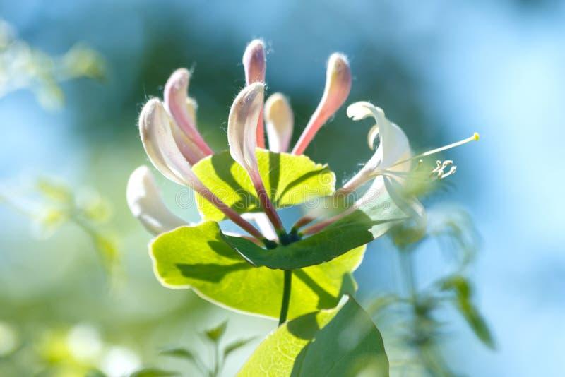 Lonicera periclymenum flower, common honeysuckle, European honeysuckle or woodbine, blooming in summer garden. Lonicera periclymenum flower, common names royalty free stock photo