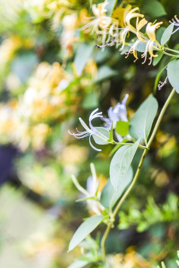Lonicera periclymenum yellow flowering in summer in the garden. Lonicera periclymenum yellow flowering in summer in the garden royalty free stock photos