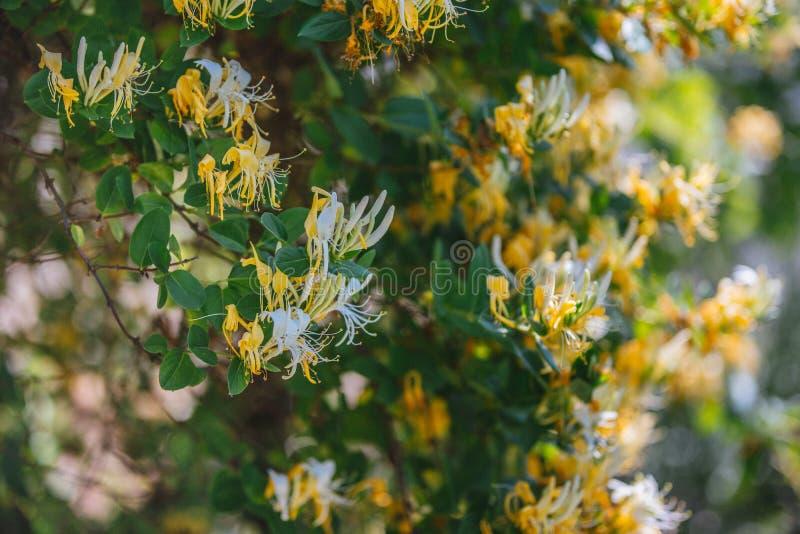 Lonicerajaponica Thunb eller gul och vit blomma för japansk kaprifol i trädgård royaltyfria bilder