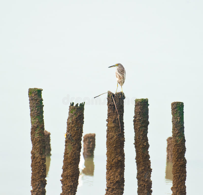 Lonly Bird. A lonely Chinese Pond Heron bird stock photos