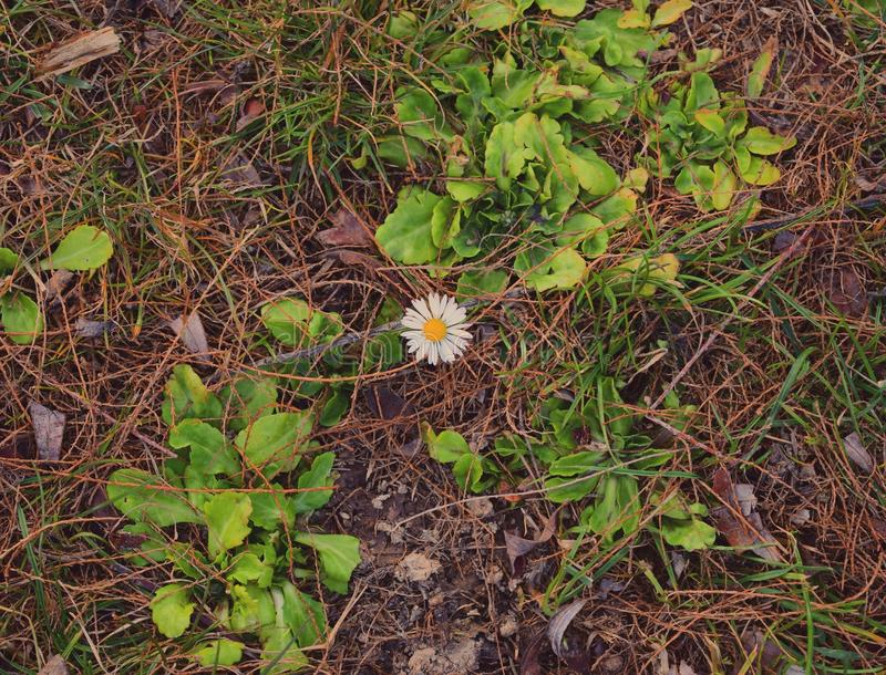 Lonly flower. One flower in the middel of a park stock photos