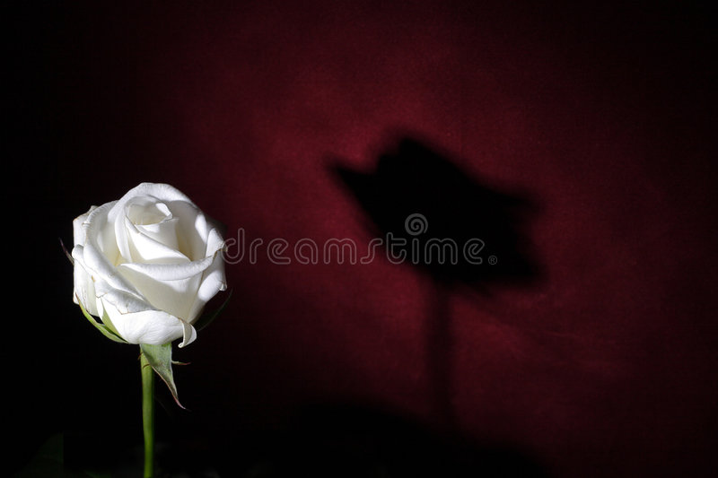 Lonly white rose royalty free stock photo