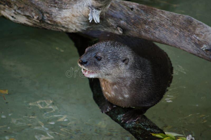 Lontra che si siede su un ceppo fotografia stock libera da diritti