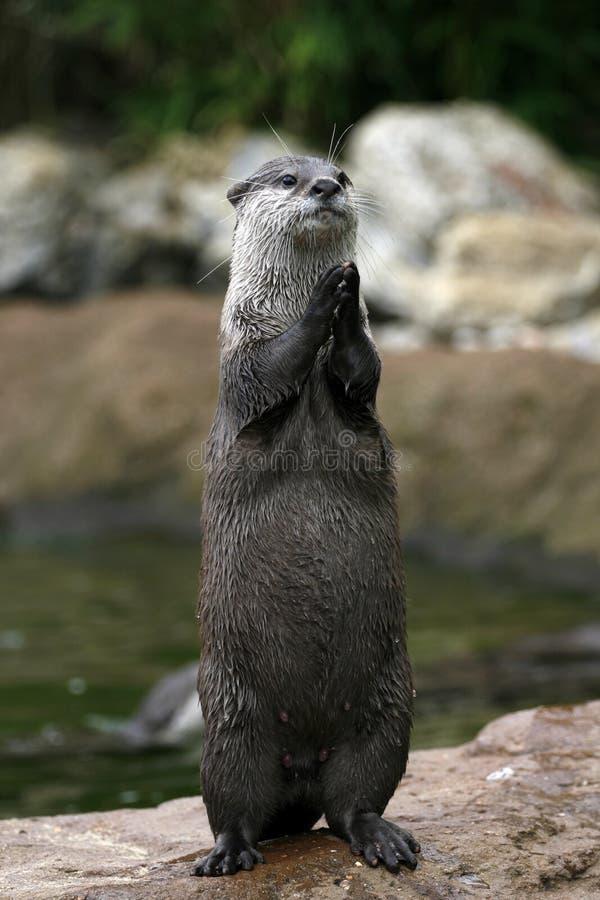 Lontra de aplauso? foto de stock royalty free