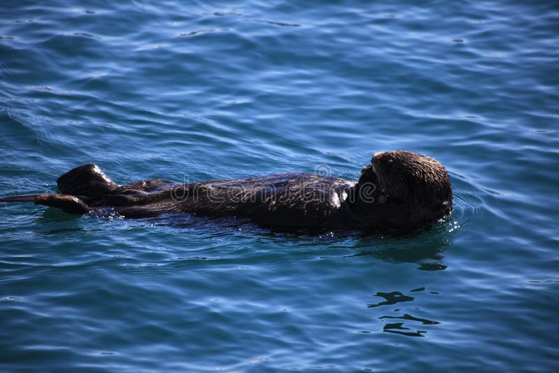 Lontra de mar, ?gua, mar imagens de stock royalty free