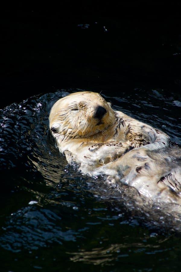 Lontra de mar fotos de stock royalty free
