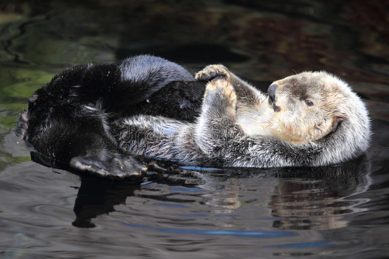 Lontra de mar fotografia de stock
