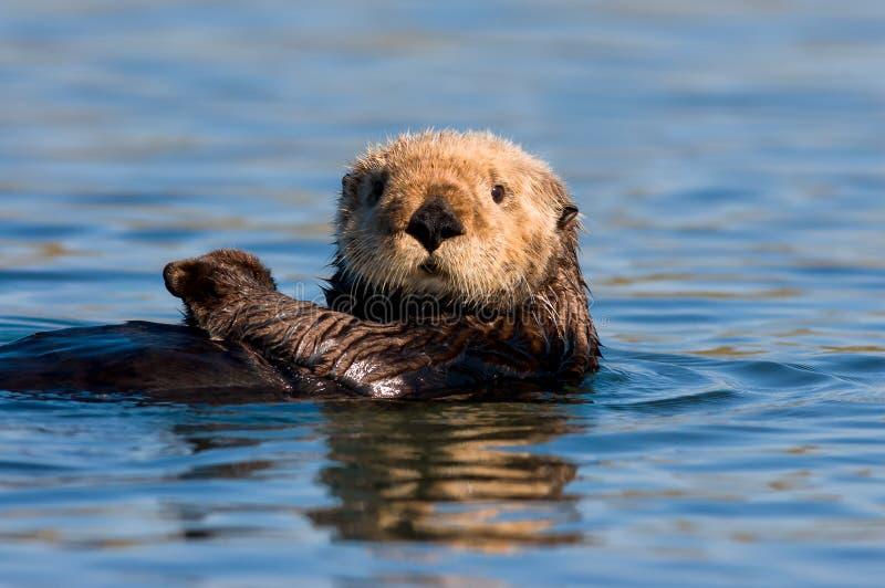 Lontra de mar de Califórnia imagens de stock royalty free