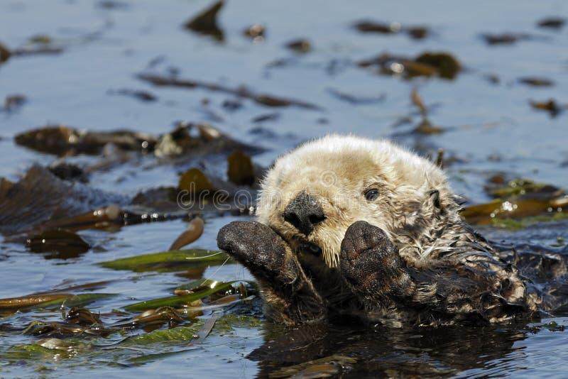 Lontra de mar de Califonia fotografia de stock