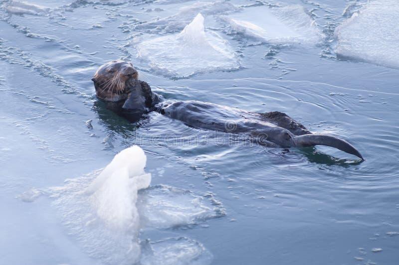 A lontra de mar do Alasca racha as conchas do mar que flutuam os peixes animais dos animais selvagens imagem de stock