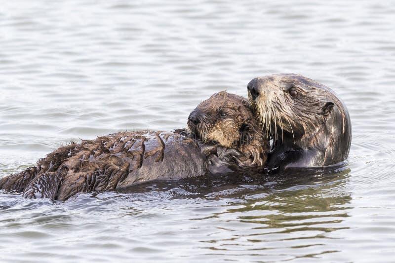 Lontra de mar do sul que embala seu filhote de cachorro - península de Monterey, Califo fotografia de stock