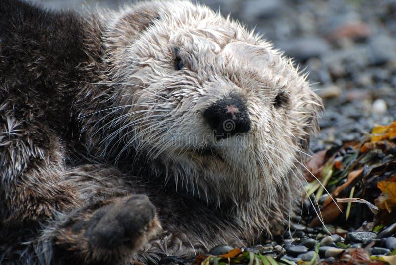 Lontra de mar que descansa na terra imagem de stock