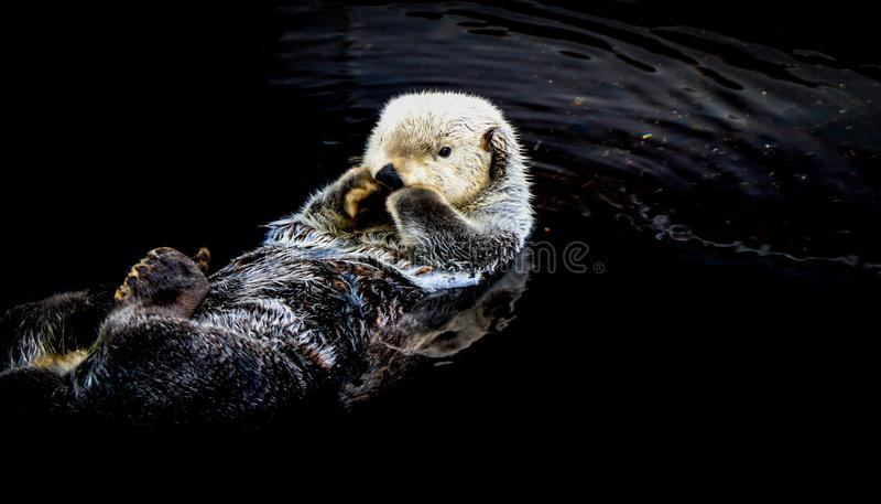 Lontra de mar que flutua na água foto de stock