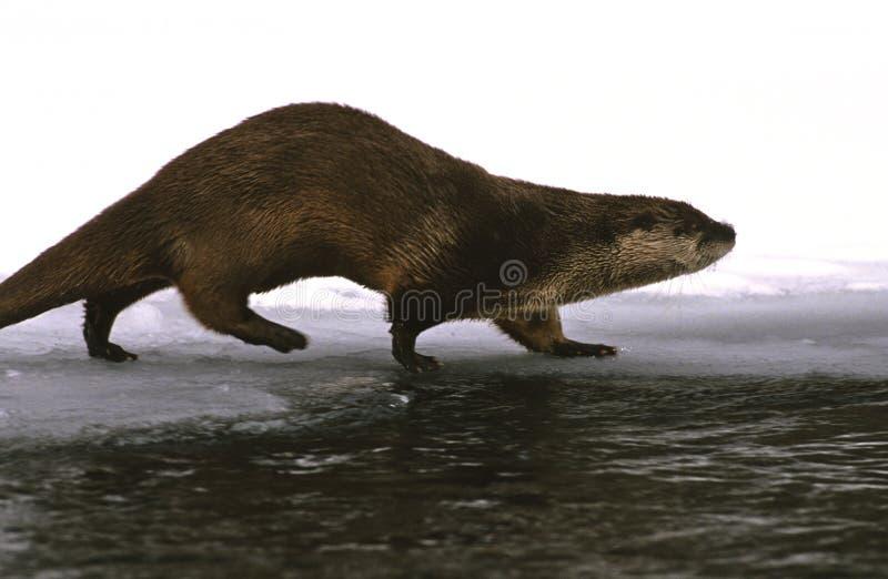 Lontra de rio foto de stock