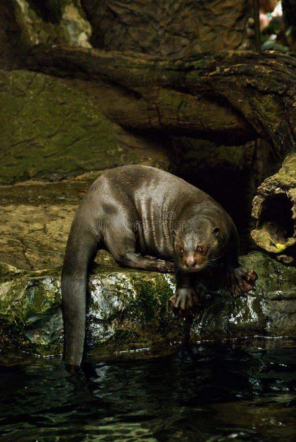Lontra de rio gigante foto de stock