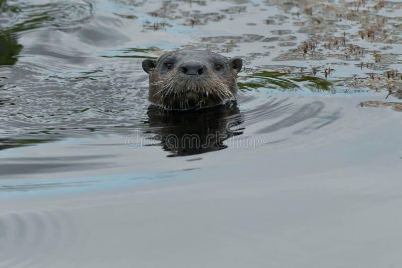 Lontra de rio norte-americana foto de stock royalty free