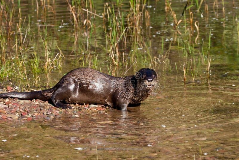 Lontra de rio norte-americana imagem de stock royalty free