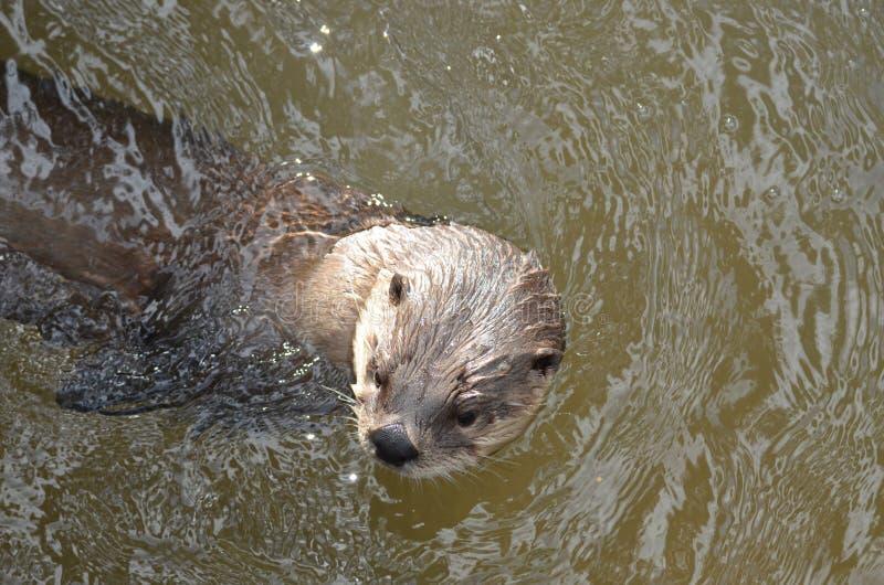 Lontra de rio que repica fora de Muddy River fotografia de stock royalty free