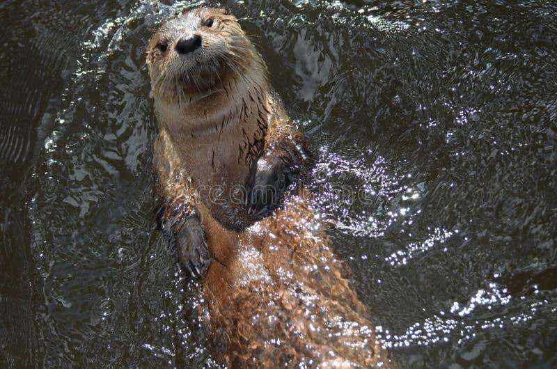 Lontra de rio realmente bonito que flutua na sua para trás imagens de stock royalty free