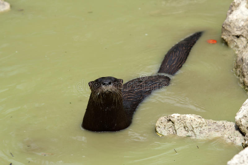Lontra de rio selvagem fotos de stock